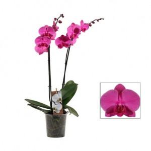 Орхидея Фаленопсис фиолетовая.