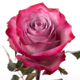 Роза Deep Purple (Дип Перпл)