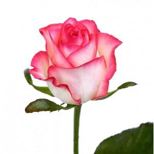 Роза (Jumilia) Джумилия
