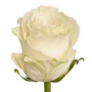 Роза белая (Mondial) Мондиаль