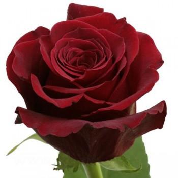 Роза сорт Фридом.
