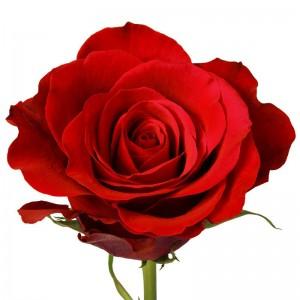 Роза 80 см. Фридом
