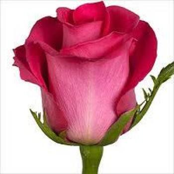 Роза розовая (Topaz) Топаз.